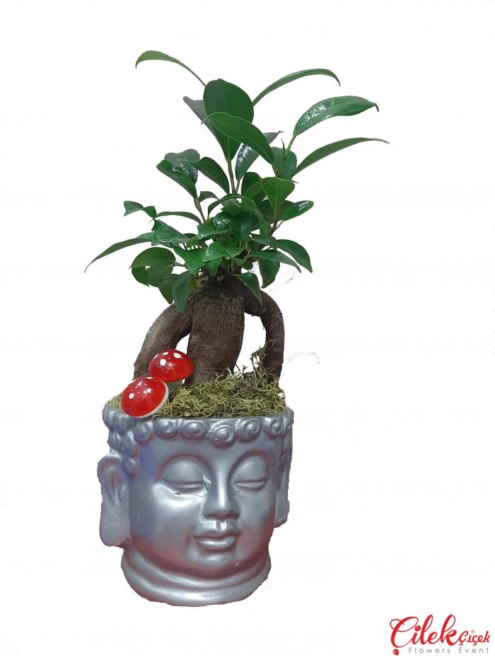 Buda Bonsai