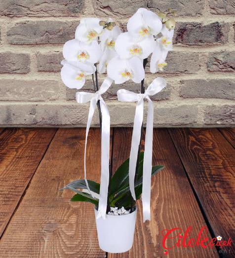 İkili Beyaz Orkide