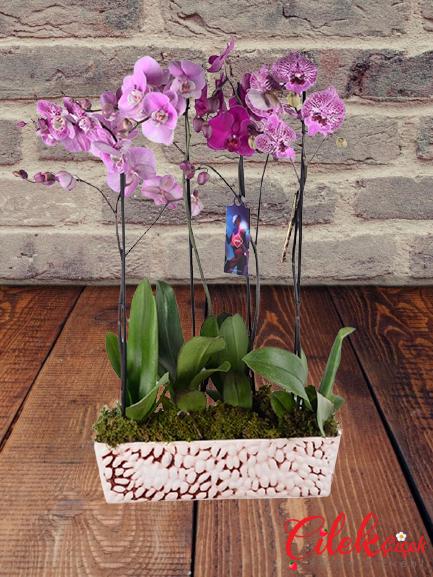 Fuşya Orkide Bahçem