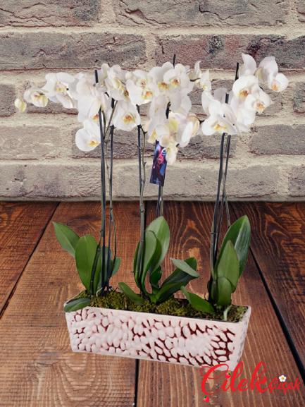 6 lı Beyaz Orkidesi
